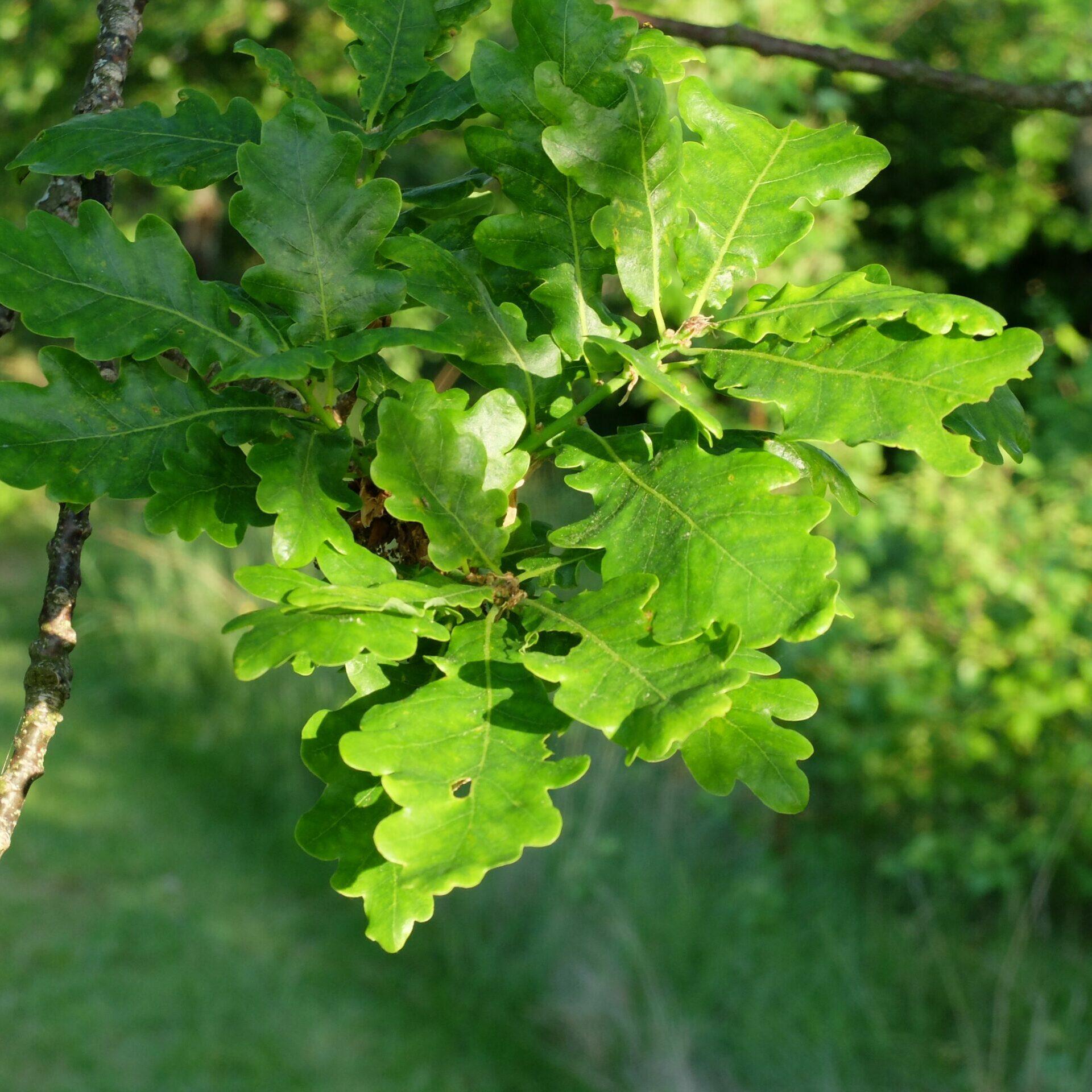 Gröna eklöv