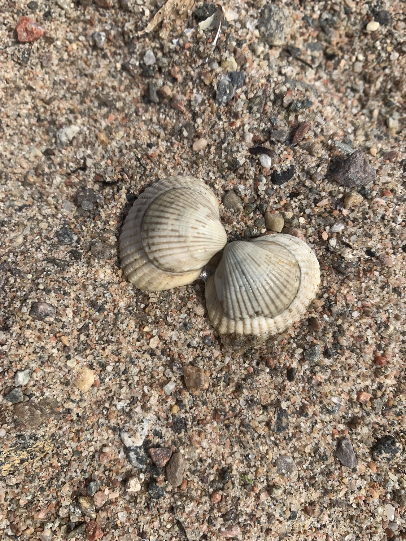 Snäckor strand